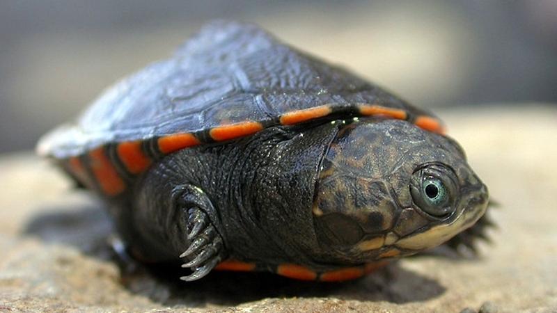 Tartaruga di fango del lago Turkana