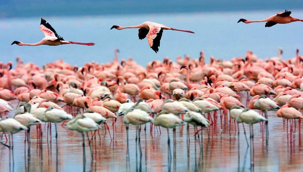 Fenicotteri-Lago Nakuru - Kenya