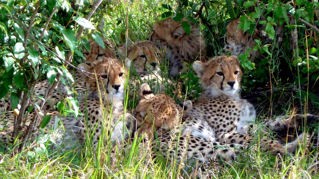 Ghepardi-Masai Mara - Kenya