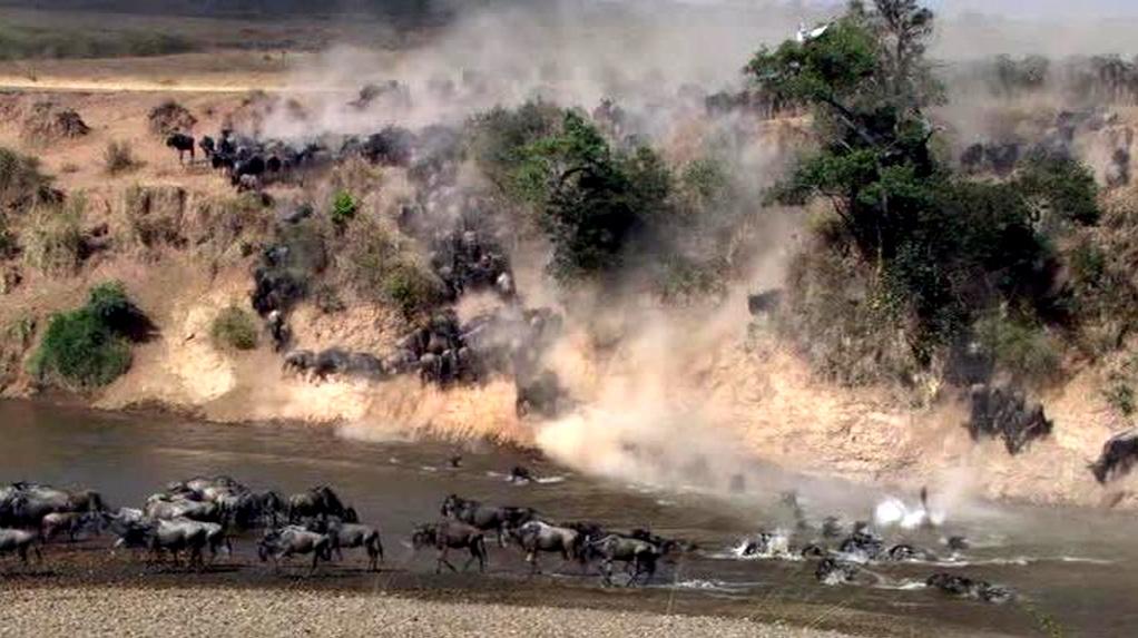 Gnu-Migrazione Masai Mara - Kenya