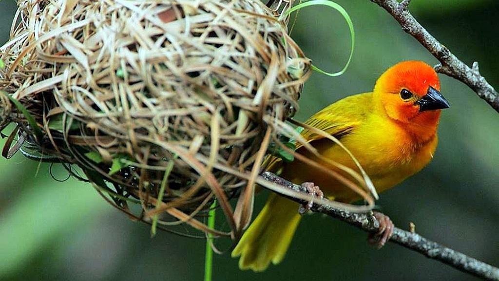 Tessitore palma d'oro - Golden Palm Weaver - Kenya