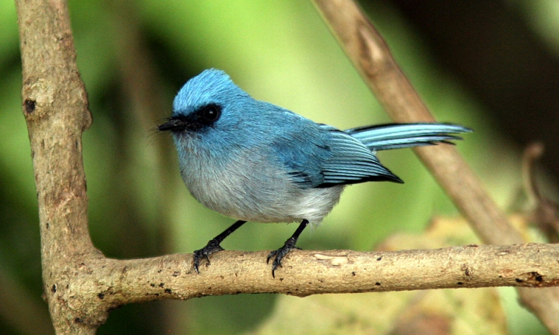 African Blue Flycatcher