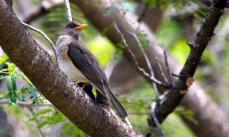 African Thrush Great Lakes