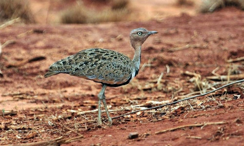 Buff crested Bustard