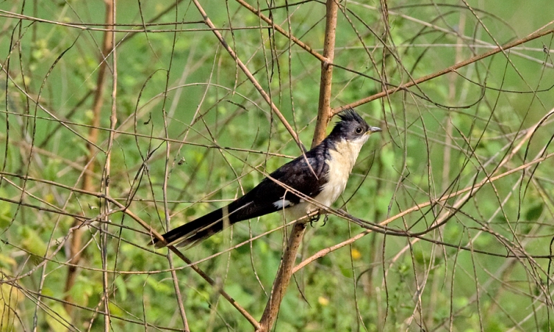 Pied Cuckoo or Jacobin Cuckoo or Black and White Cuckoo