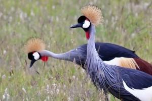 Kenyan Birds