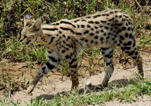 Servals & Caracals