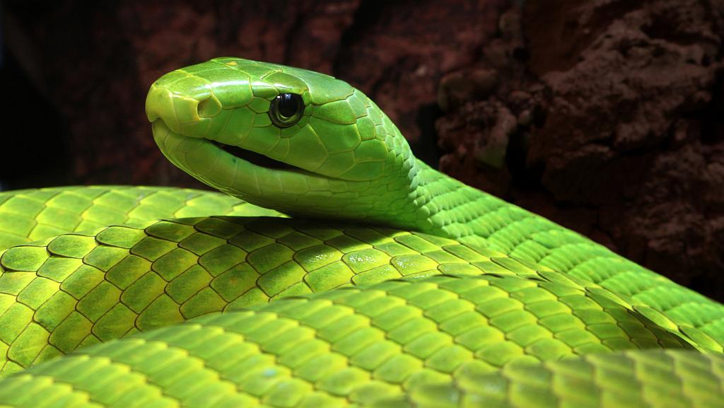 Lethal snakes in Kenya