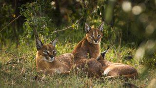 Caracal o Lince africana con i suoi cuccioli-Kenya Safari