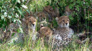 Famiglia di Ghepardi Riserva Masai Mara-Kenya Safari