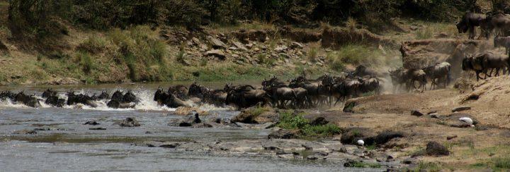 Gnu attraversano il fiume Mara-Kenya Safari