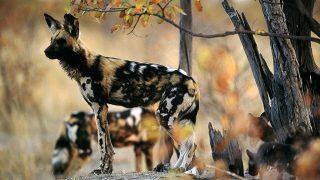 Licaone o Cane selvatico africano-Kenya Safari