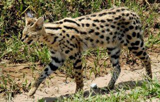 Servalo o Gattopardo africano-Kenya Safari