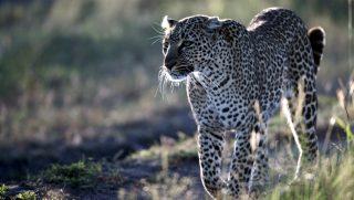 Leopardo africano-Riserva Masai Mara