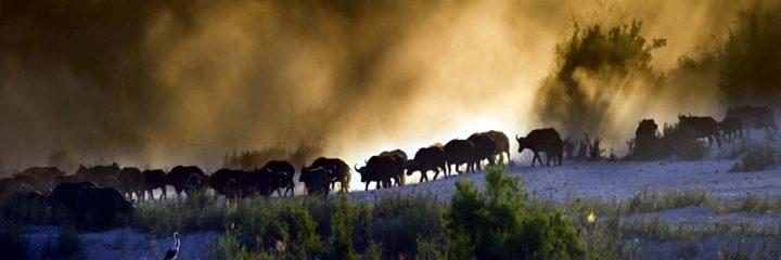 Mandria di bufali nella savana-Fauna del Kenya